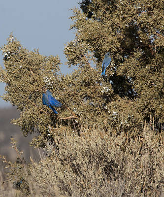 Photograph - Mountain Bluebird - 0002 by S and S Photo