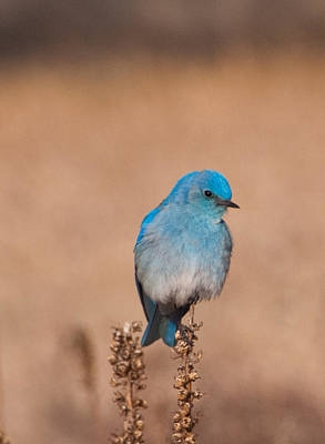 Photograph - Mountain Bluebird by Cascade Colors
