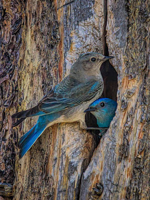 Airport Maps - Mountain Bluebird Couple at the Nest by Martin Belan
