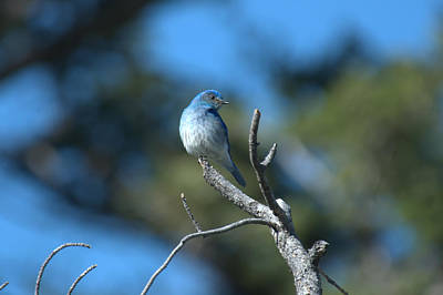 Photograph - Mountain Bluebird by Frank Madia