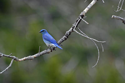 Mountain Bluebird In Yellowstone National Park Art Print by Bruce Gourley