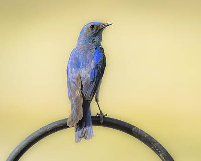 Photograph - Mountain Bluebird Of Happiness by John Brink