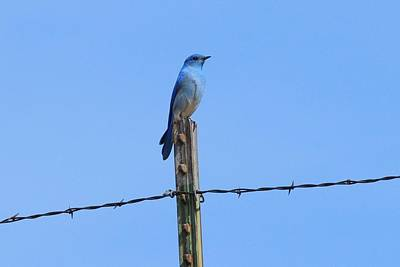 Photograph - Mountain Bluebird On Barbed-wire by Marilyn Burton