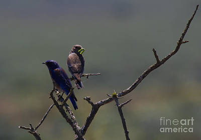 Mountain Royalty-Free and Rights-Managed Images - Mountain Bluebird Pair by Mike  Dawson