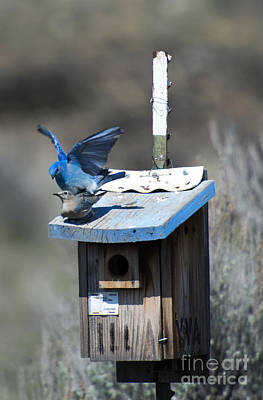 Mountain Royalty-Free and Rights-Managed Images - Mountain Bluebirds Mating by Mike  Dawson