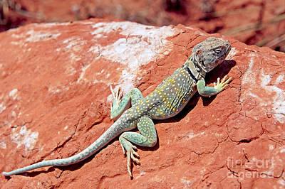 Collared Lizard Photograph - Mountain Boomer by Charles Dobbs