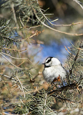 Photograph - Mountain Chickadee by Deby Dixon