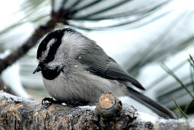 Photograph - Mountain Chickadee During A Light Snow by Marilyn Burton