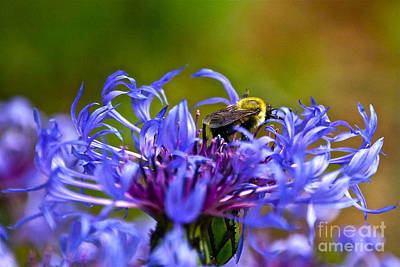 Mountain Cornflower And Bumble Bee Art Print by Byron Varvarigos
