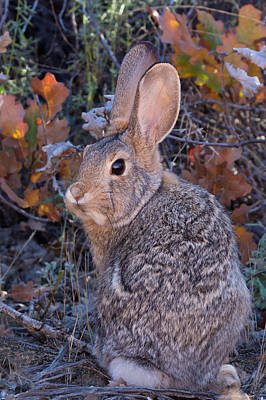 Photograph - Mountain Cottontail Bunny by Kathleen Bishop