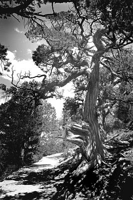 Photograph - Mountain Cypress by Joseph G Holland