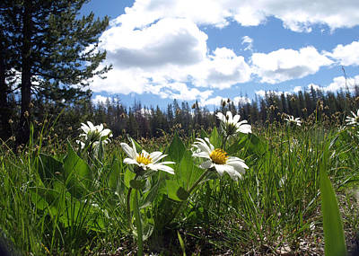 Photograph - Mountain Daisies by Tarey Potter