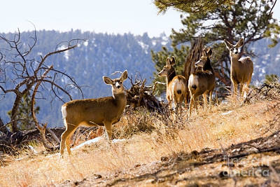 Steven Krull Royalty-Free and Rights-Managed Images - Mountain Deer Herd by Steven Krull