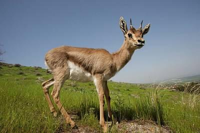 Mountain Gazelle (gazelle Gazelle) Print by Photostock-israel
