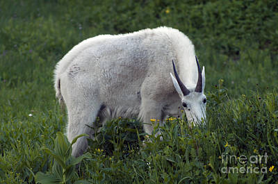Photograph - Mountain Goat - Glacier by Cindy Murphy - NightVisions