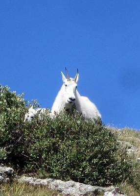 Photograph - Mountain Goat 3 by Nina Donner