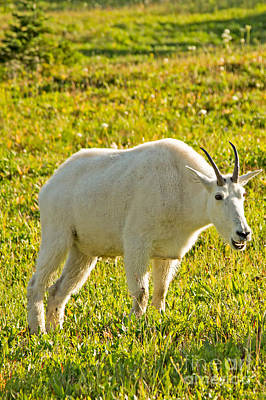 Mountain Goat Photograph - Mountain Goat At Glacier Np by Natural Focal Point Photography