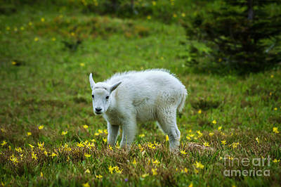 Photograph - Mountain Goat Baby by Jim McCain