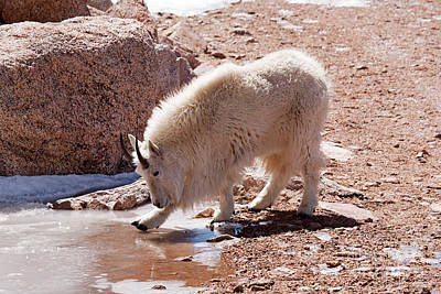 Photograph - Mountain Goat Breaking Ice On Mount Evans by Fred Stearns