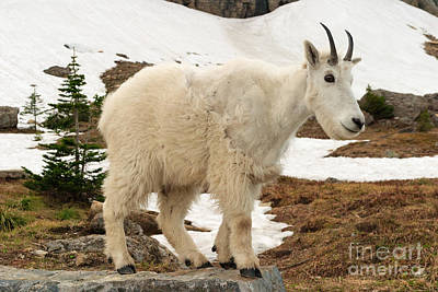Photograph - Mountain Goat Cameo by Charles Kozierok
