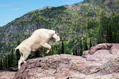 Mountain Goat Climbing Rocks In Glacier Art Print