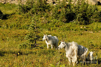 Mountain Goat Photograph - Mountain Goat Family by Natural Focal Point Photography