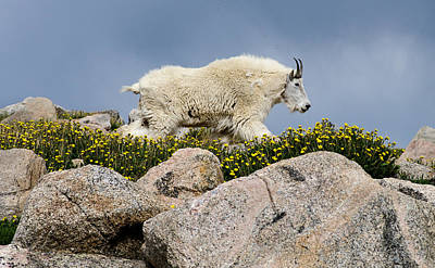 Mountains Photograph - Mountain Goat In Flowers by Gene Tewksbury