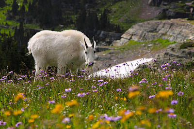 Photograph - Mountain Goat In Glacier by Shari Jardina