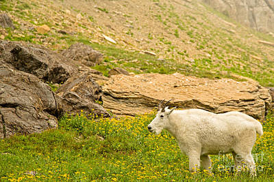 Mountain Goat In The Mountains Art Print by Natural Focal Point Photography