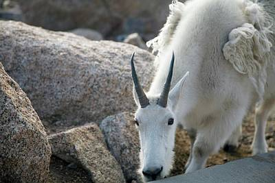 Mountain Goat Photograph - Mountain Goat by Jim West