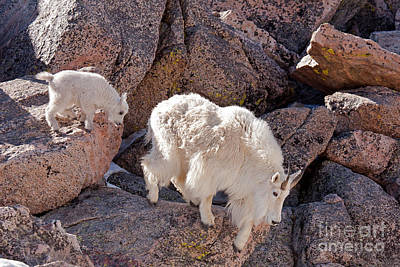 Photograph - Mountain Goat Kid Following Nanny On Mount Evans by Fred Stearns