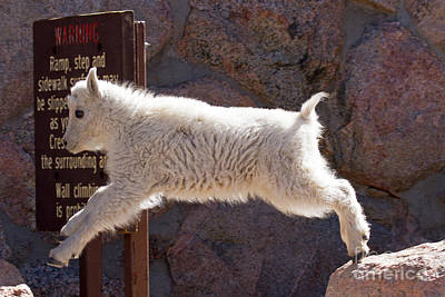 Black And White Horse Photography - Mountain Goat Kid Jumping on Mount Evans by Fred Stearns