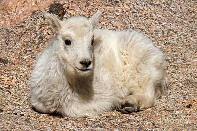 Photograph - Mountain Goat Kid Relaxing On Mount Evans by Fred Stearns