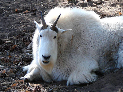Mountain Goat Art Print by Linda Cox