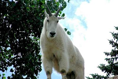 Photograph - Mountain Goat by Marilyn Burton
