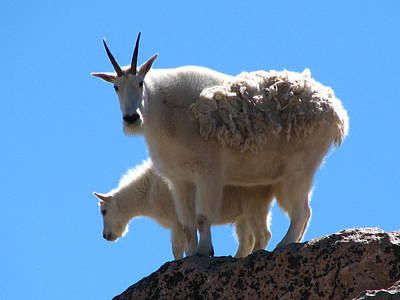 Wildlife Er Photograph - Mountain Goat Mother And Baby by Teresa Cox