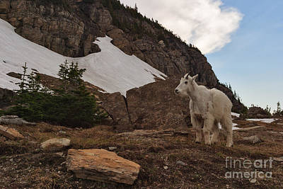 Photograph - Mountain Goat Near Logan Pass by Charles Kozierok