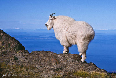 Art Print featuring the photograph Mountain Goat On Klahane Ridge by Jeff Goulden