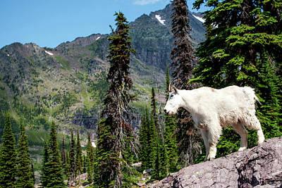 Mountain Goat Photograph - Mountain Goat (oreamnos Americanus by James White
