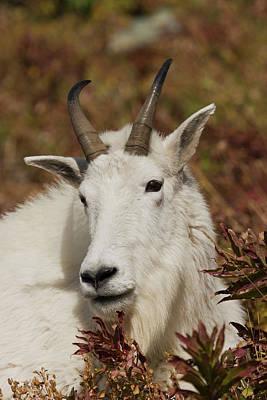Rocky Mountain Goat Photograph - Mountain Goat Portrait by Ken Archer