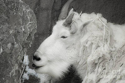 Photograph - Mountain Goat by Rich Collins