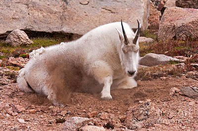 Photograph - Mountain Goat Taking A Dirt Bath On Mount Evans by Fred Stearns