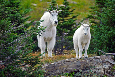 Photograph - Mountain Goats - Glacier by Cindy Murphy - NightVisions