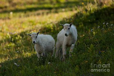 Mountain Goat Photograph - Mountain Goats 3 by Natural Focal Point Photography