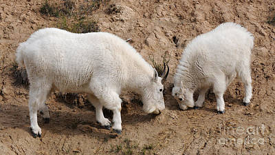 Art Print featuring the photograph Mountain Goats At The Salt Lick by Vivian Christopher