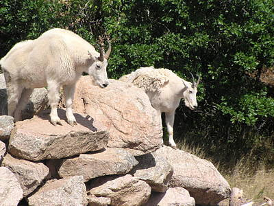 Photograph - Mountain Goats by Diane Alexander