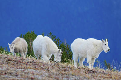 Mountain Goat Photograph - Mountain Goats Foraging On Alpine Tundra by Ken Archer
