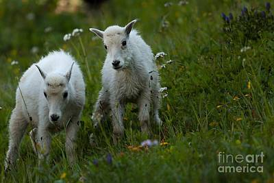 Mountain Goat Photograph - Mountain Goats by Natural Focal Point Photography