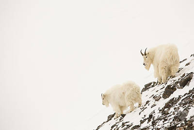 Mountain Goats On A Snowy Slope Print by Tim Grams
