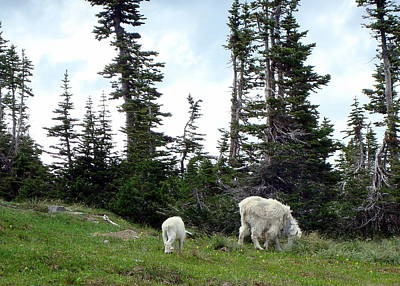 Photograph - Mountain Goats by Susan Woodward